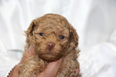 トイプードルアプリコットの子犬メス、生後4週間画像