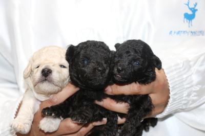 トイプードルホワイト(白)オスシルバーメス2頭の子犬、生後3週間画像