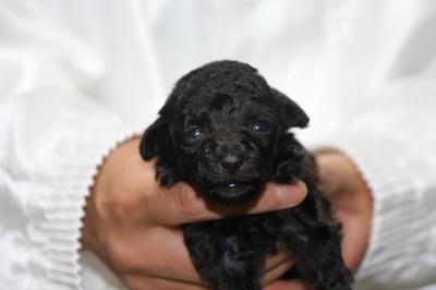 ティーカップシルバーの子犬メス、生後4週間画像