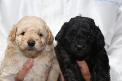 トイプードルクリーム(ホワイト)オスシルバーメスの子犬、生後4週間画像
