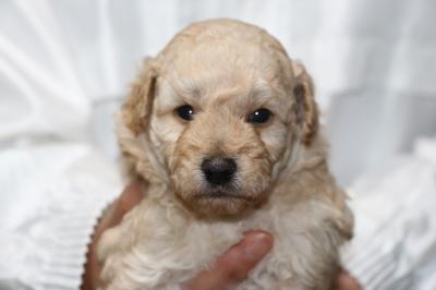 トイプードルクリーム(ホワイト)の子犬オス、生後4週間画像