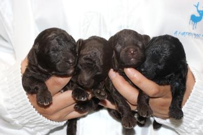 トイプードルブラウンオス1頭メス2頭ブラック(黒)メス1頭の子犬、生後2週間画像