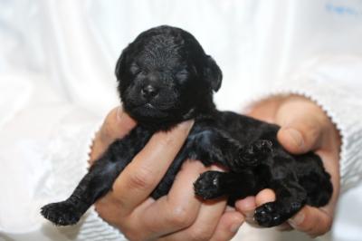 トイプードルブラック(黒)の子犬メス、生後2週間画像