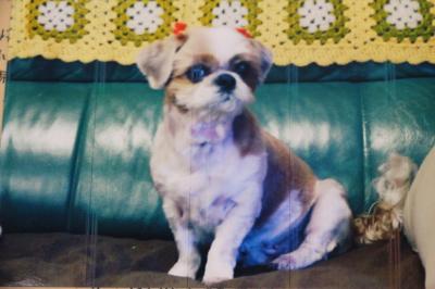 シーズーホワイト&ゴールド成犬メス画像