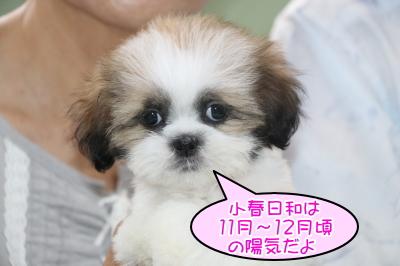 シーズーホワイト&ゴールド(白茶)の子犬メス、生後2ヶ月画像