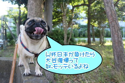 茨城県取手市パグオス成犬のハフ君、千葉県ペットホテル画像