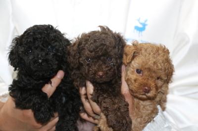 トイプードルの子犬、ブラック(黒)ブラウンオスアプリコットメス、生後5週間