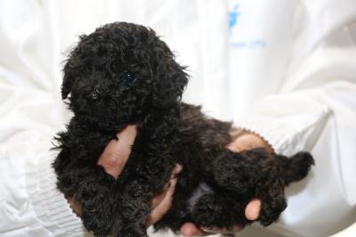 トイプードルブラック(黒)子犬オス、生後5週間画像
