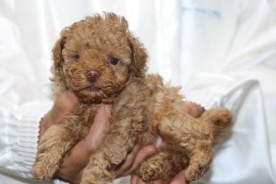 トイプードルアプリコットの子犬メス、生後5週間画像