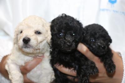 トイプードルホワイト(白)オスシルバーメス2頭の子犬、生後4週間画像