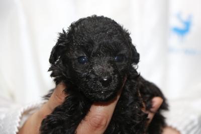 ティーカッププードルシルバーの子犬メス、生後4週間画像