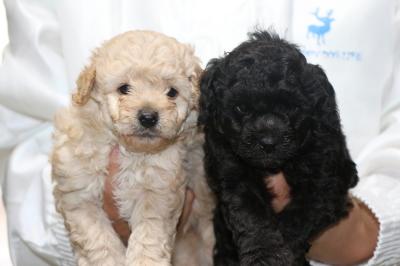 トイプードルクリーム(ホワイト)オスシルバーメスの子犬、生後5週間画像