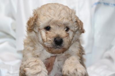 トイプードルクリーム(ホワイト)オスの子犬、生後5週間画像