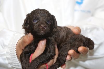 トイプードルブラウンメスの子犬、生後3週間画像