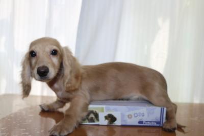 ミニチュアダックスクリーム(イエロー)の子犬メス、生後4ヵ月画像
