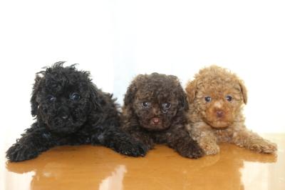 トイプードルの子犬、ブラック(黒)ブラウンオスアプリコットメス、生後6週間画像