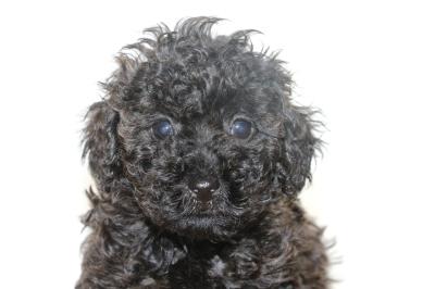 トイプードルブラック(黒)の子犬オス、生後6週間画像