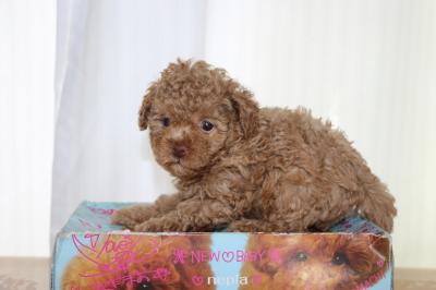 トイプードルアプリコットの子犬メス、生後6週間画像