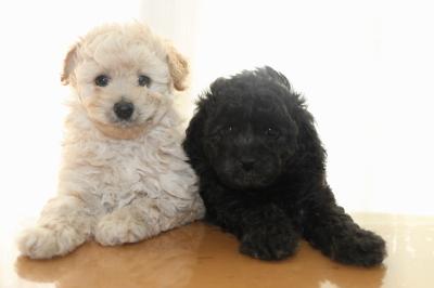 トイプードルクリーム(ホワイト)オスシルバーメスの子犬、生後6週間画像