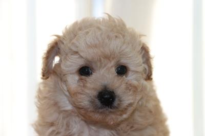 トイプードルクリーム(ホワイト)オスの子犬、生後6週間画像