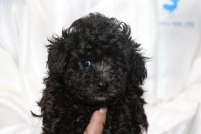 タイニーサイズトイプードルシルバーの子犬メス、生後5週間画像