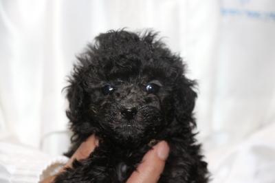 ティーカッププードルシルバーの子犬メス、生後5週間画像
