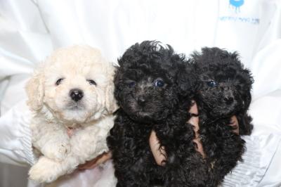 トイプードルホワイト(白)オスシルバーメス2頭の子犬、生後5週間画像