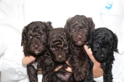 トイプードルブラウンオス1頭メス2頭ブラック(黒)メス1頭の子犬、生後4週間画像