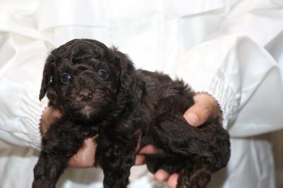 トイプードルブラウンオスの子犬、生後4週間画像