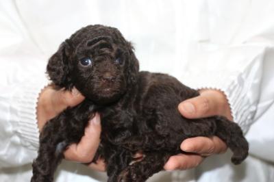 トイプードルブラウンメスの子犬、生後4週間画像