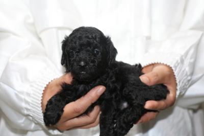 トイプードルブラック(黒)メスの子犬、生後4週間画像