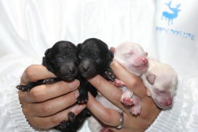 トイプードルシルバーオスメスホワイト(白)メス2頭の子犬、生後3日画像