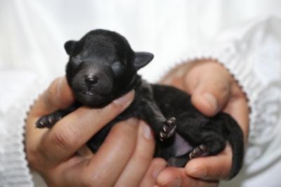 トイプードルシルバーの子犬メス、生後3日画像