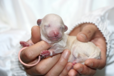 トイプードルホワイト(白)の子犬メス、生後3日画像