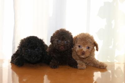 トイプードルの子犬、ブラック(黒)ブラウンオスアプリコットメス、生後6週間