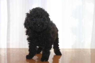 トイプードルブラック(黒)の子犬オス、生後7週間画像
