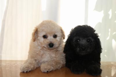 トイプードルクリーム(ホワイト)オスとシルバーメスの子犬、生後7週間画像