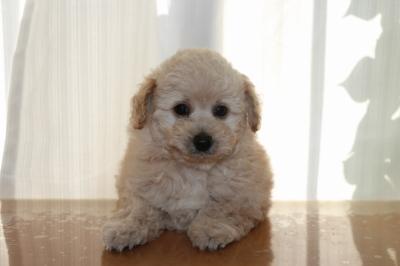 トイプードルクリーム(ホワイト)の子犬オス、生後7週間画像