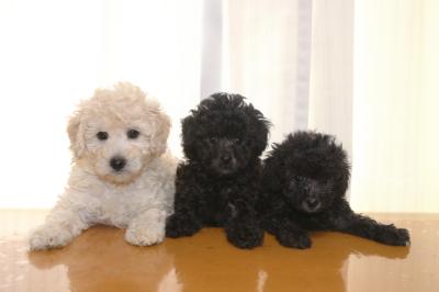 トイプードルホワイト(白)オスシルバーメス2頭の子犬、生後6週間画像