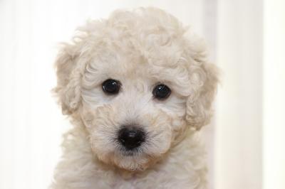トイプードルホワイト(白)の子犬オス、生後6週間画像