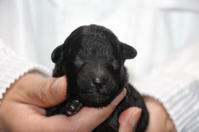 トイプードルシルバーオスの子犬、生後1週間画像