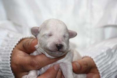 トイプードルホワイト(白)メスの子犬、生後1週間画像