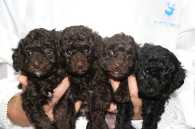 トイプードルブラウンオス1頭メス2頭ブラック(黒)メス1頭の子犬、生後5週間画像