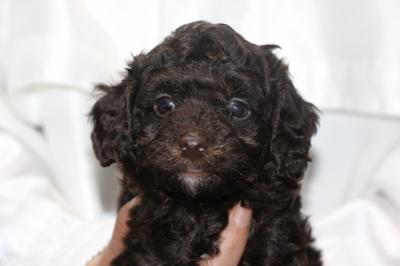 トイプードルブラウンオスの子犬、生後5週間画像