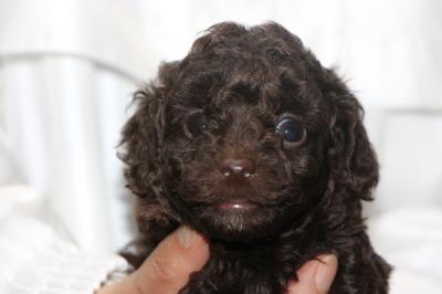 トイプードルブラウンメスの子犬、生後5週間画像