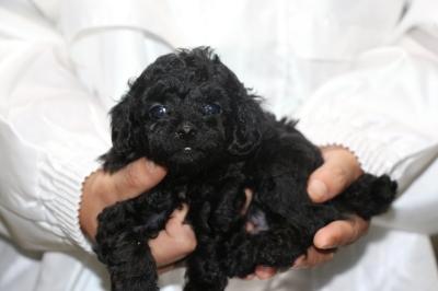 トイプードルブラック(黒)メスの子犬、生後5週間画像
