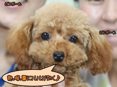 ティーカッププードルレッドの子犬メス、生後7ヵ月画像