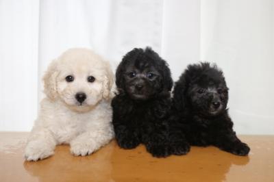 トイプードルホワイト(白)オスシルバーメス2頭の子犬、生後7週間画像