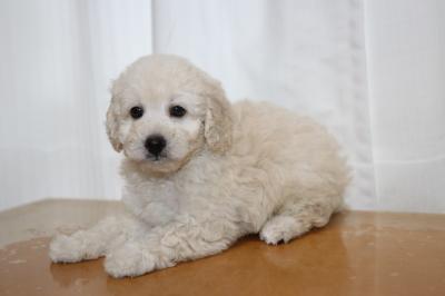 トイプードルホワイト(白)オスの子犬、生後7週間画像