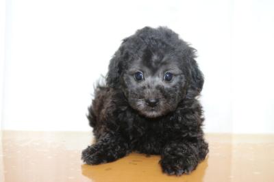タイニーサイズトイプードルシルバーの子犬メス、生後7週間画像
